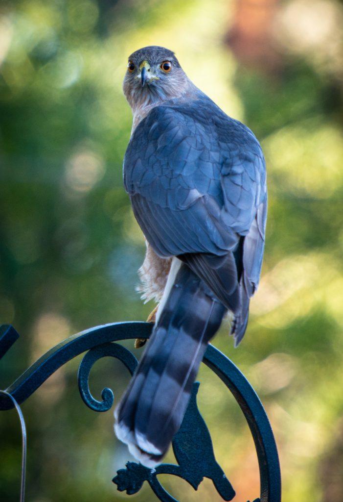 Coopers hawk Wild Yards