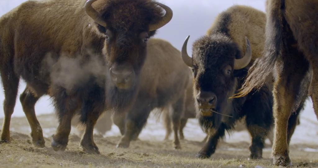 Gather Bison