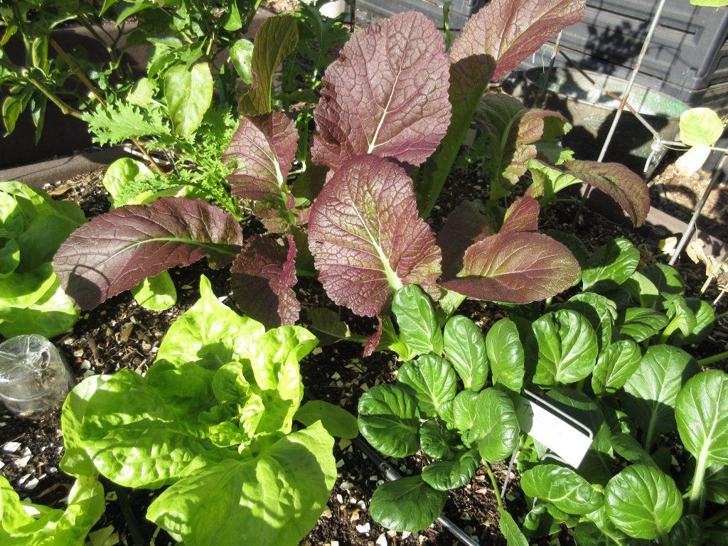Lettuces mustard greens