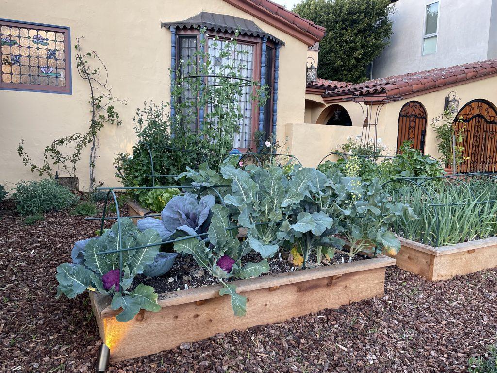 Pitt front yard mini farm brassicas