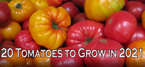 Read more about the article YouTube: Colorful Tomatoes to Grow in 2021