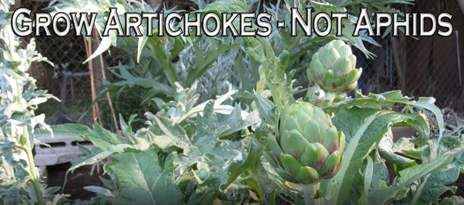 You are currently viewing YouTube: Grow Artichokes – Not Aphids