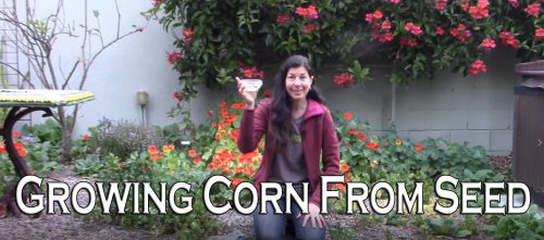 Read more about the article YouTube: Growing Corn From Seed