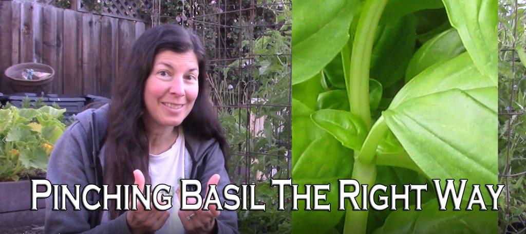 Pinching basil
