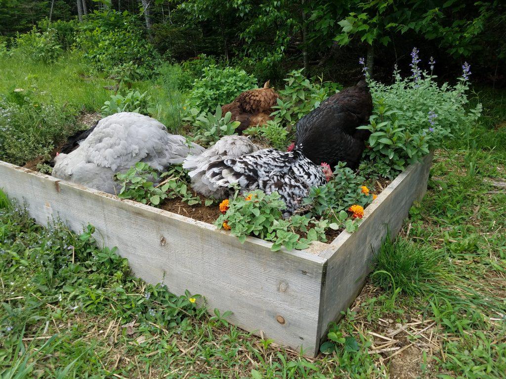 chicken-dust-bathing-in-herb-garden