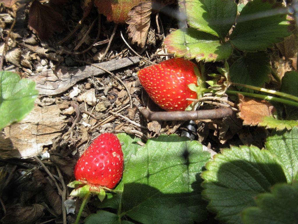Strawberries wordless wednesday