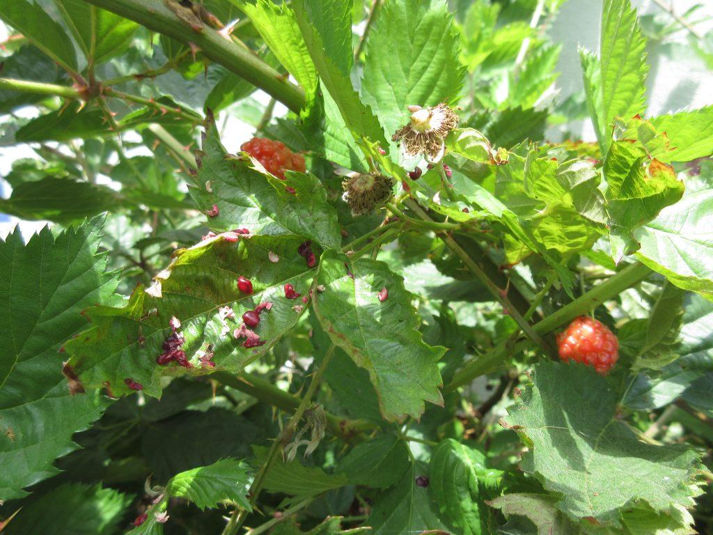 Eaten blackberries wordless wednesday