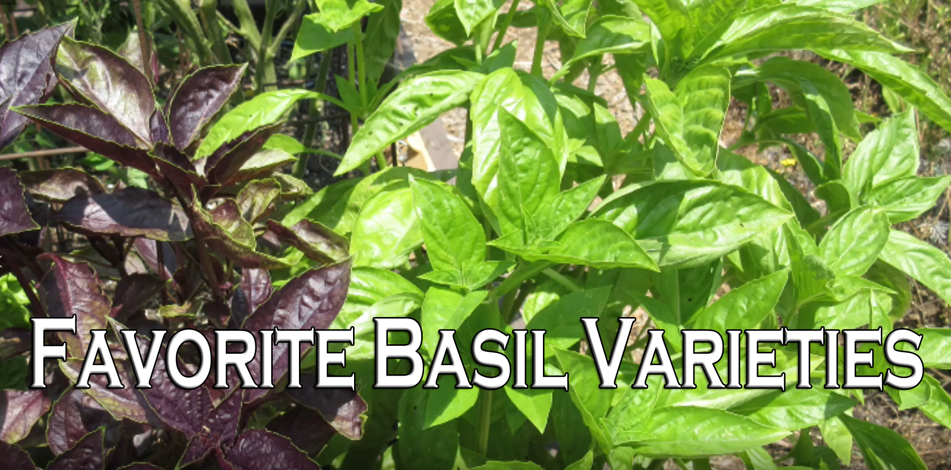 Read more about the article YouTube: Favorite Basil Varieties