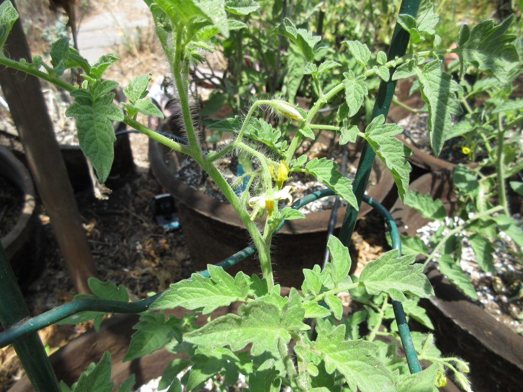 Recovered tomatoes