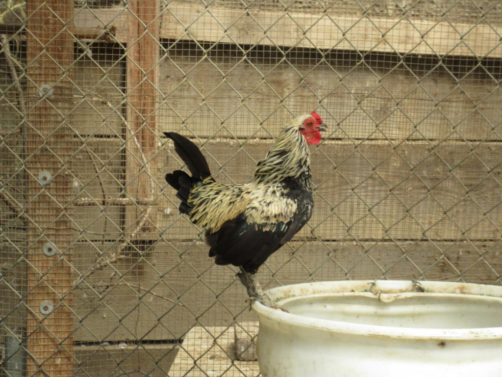 Miniature Rooster