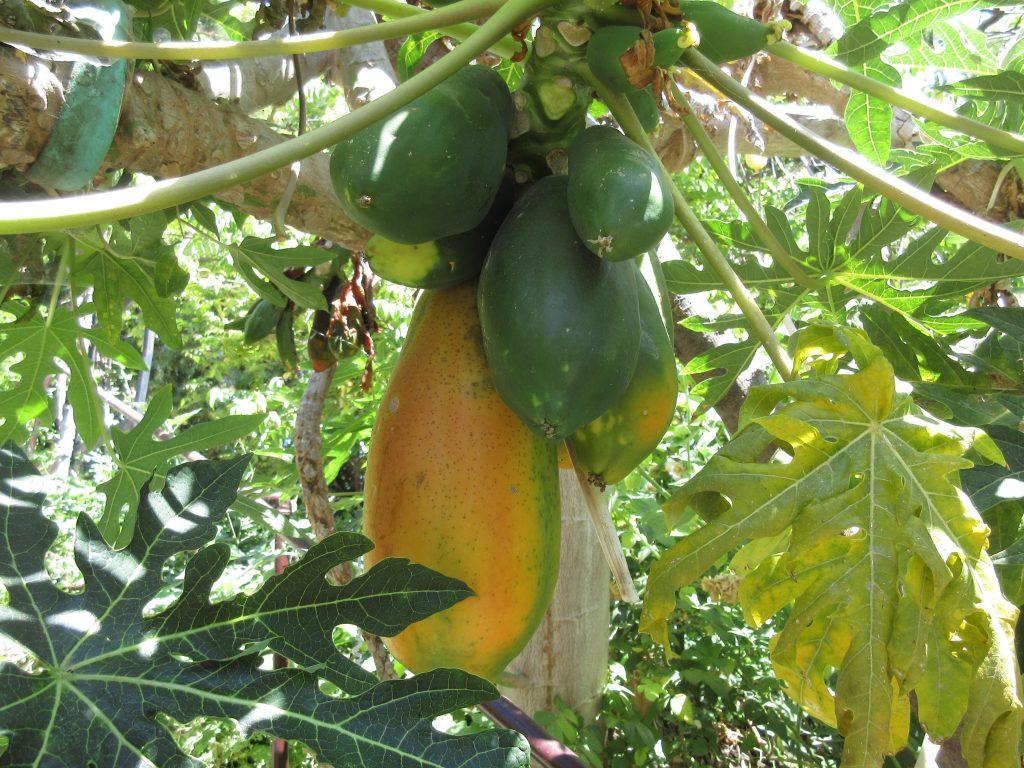 Papaya Little Farm