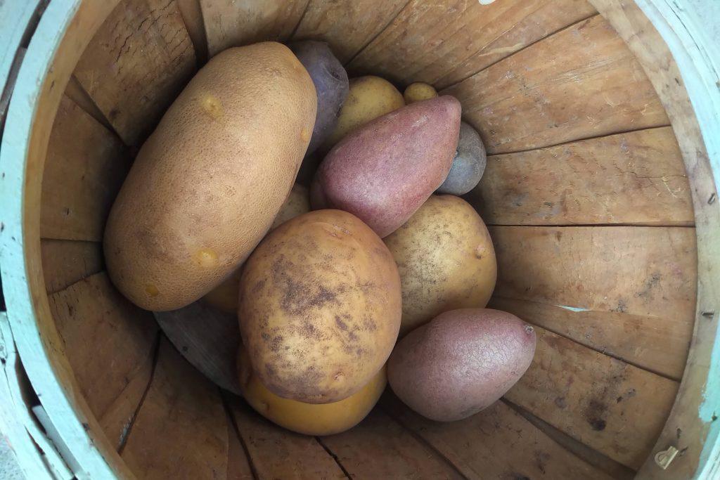 potato harvest wordless wednesday