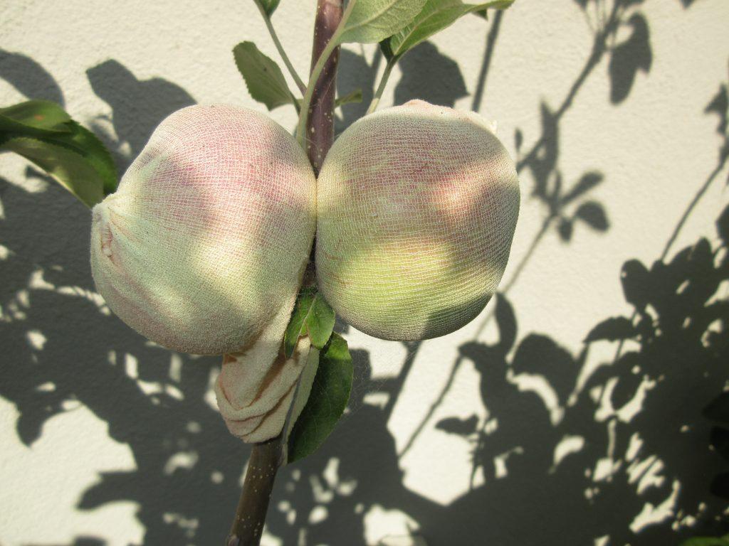 Fuji apple covered