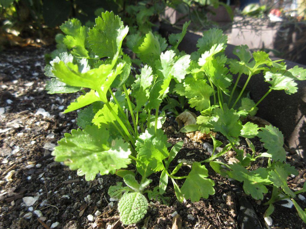 wordless wednesday cilantro
