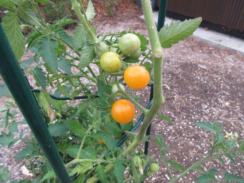 Volunteer tomato