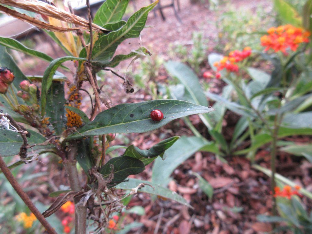 Milkweed and ladybugs