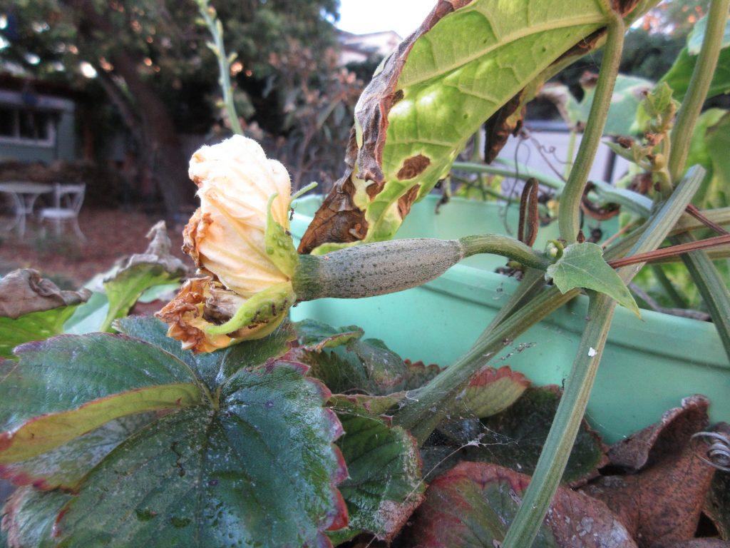 Luffa on the vine