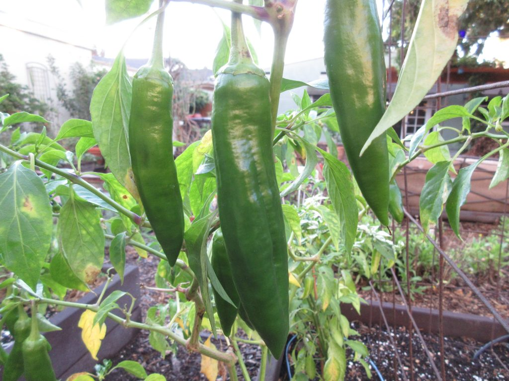 Wordless Wednesday Anaheim Peppers