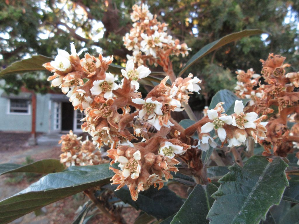 Loquat and bee
