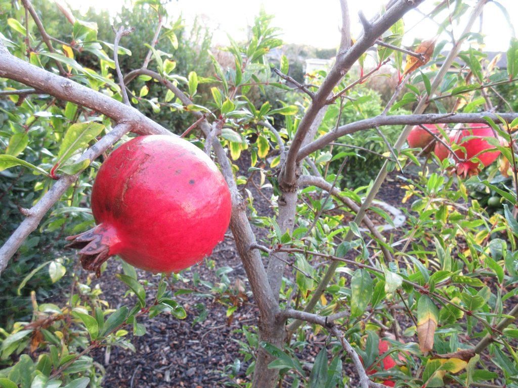 Pomegranate wordless wednesday